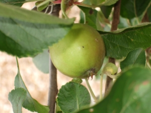 Our first fruit from the tree gifted to celebrate Little Stitch and remember Pa Stitch