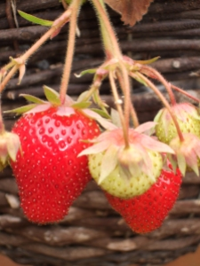Despite studiously ignoring last years plants, we have delicious fruit