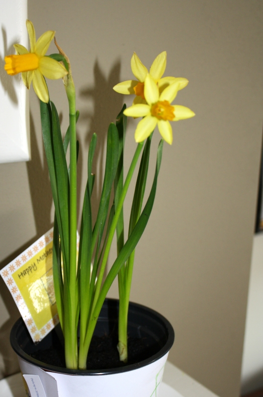 Daffodils grown by The Boy